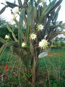 mandacaru in bloei
